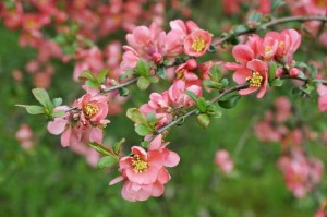 Chaenomeles superba 'Pink Trail' Interpitra - Japanese Quince