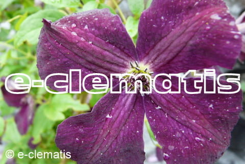 Clematis Royal Velours, fot. Anna Rafaląt