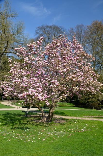 magnolia 39 george henry kern 39 magnolia e clematis. Black Bedroom Furniture Sets. Home Design Ideas