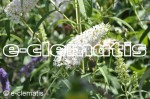 Buddleja davidii 'White Ball' - budleja