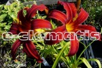 Hemerocallis Crimson Pirate – liliowiec