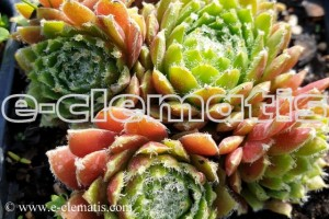 Sempervivum mix - rojnik ogrodowy,  mix