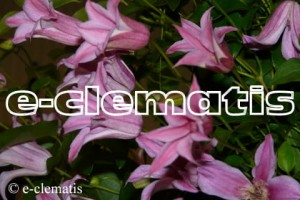 Clematis Grupa Texensis 'Duchess of Albany'