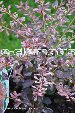 Berberis thunbergii 'Pink Attraction' - berberys Thunberga