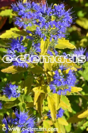 Caryopteris xcladonensis GOOD AS GOLD 'Novacargol' - barbula kladońska