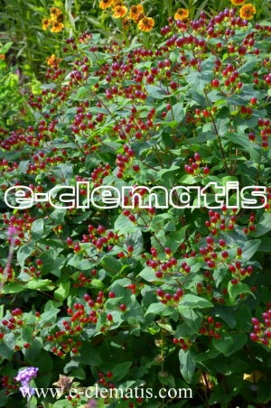 Hypericum inodorum x Magical RED FLAME 'Kolmaref' - dziurawiec