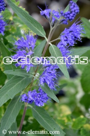 Caryopteris ×clandonensis 'Heavenly Blue' - barbula kladońska
