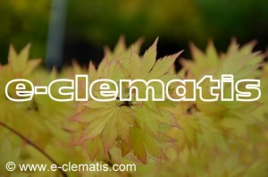 Acer shirasawanum 'Autumn Moon' - klon Shirasawy