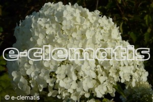 Hydrangea arborescens Incrediball 'Abetwo' PBR, STRONG ANNABELLE 'Abetwo' - hortensja krzaczasta