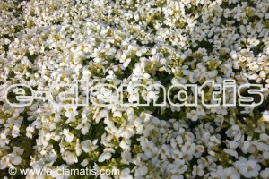 Arabis caucasica 'Little Treasure White' - gęsiówka
