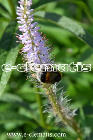 Veronicastrum virginicum 'Temptation' -
