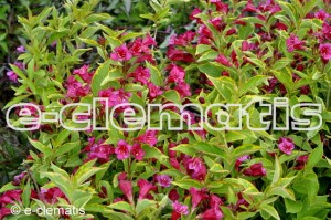 Weigela florida FRENCH LACE 'Brigela' PBR - krzewuszka