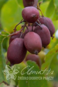 Actinidia purpurea Hardy Red