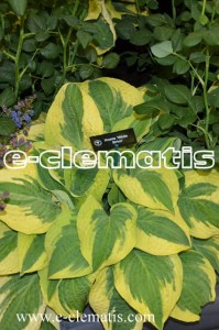 Hosta 'Wide Brim' - funkia
