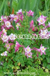 Aquilegia 'Spring Magic Rose and White' - orlik