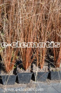 Carex buchananii  'Red Rooster' - turzyca Buchanana