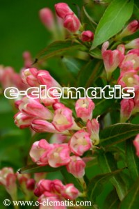 Weigela florida ALL SUMMER PEACH PBR - krzewuszka