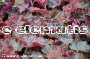 Heuchera americana 'Melting Fire' - żurawka
