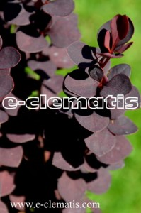 Berberis thunbergii 'Summer Chocolate' PBR - berberys Thunberga