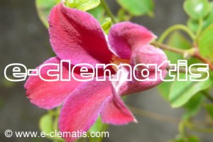 Clematis Grupa Texensis 'Sir Trevor Lawrence'
