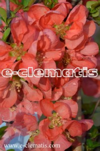 Chaenomeles superba 'Salmon Horizon' - Flowering Quince