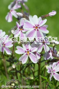 Phlox subulata 'Candy Stripes' - floks szydlasty