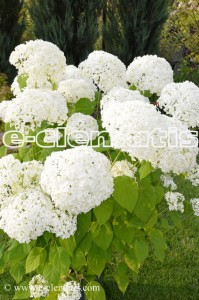 Hydrangea arborescens 'Sheep Cloud' - hortensja