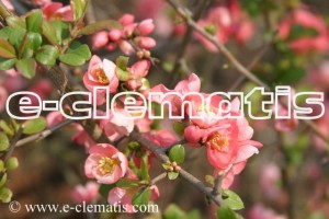 Chaenomeles ×superba 'Pink Lady' - Flowering Quince