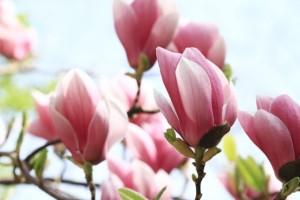 magnolia tripetala magnolia parasolowata e clematis. Black Bedroom Furniture Sets. Home Design Ideas