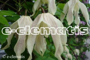 Clematis Pointy