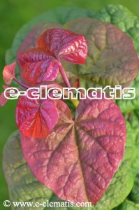 Cercis canadensis 'Little Woody' - judaszowiec kanadyjski 'Little Woody'
