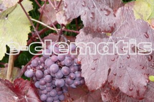Vitis vinifera Purpurea - Wine Grape