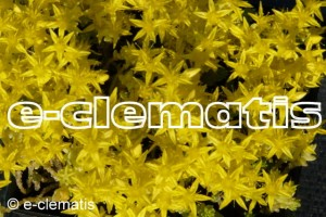 Sedum acre Yellow Queen - rozchodnik ostry