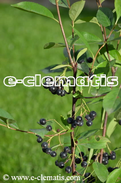 aronia melanocarpa 39 hugin 39 aronia czarnoowocowa e clematis. Black Bedroom Furniture Sets. Home Design Ideas